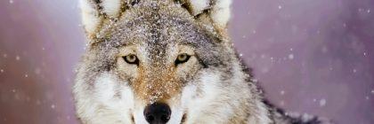 Сонник Волк